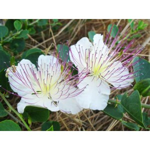 Capparis Spinosa - 25 Seeds - Caper Berry Plant