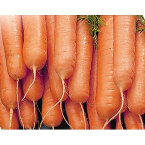 Carrot - Little Finger - 3000 Seeds - Heirloom cultivar