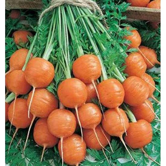 Carrot Parisian - 2500 Seeds - Heirloom cultivar