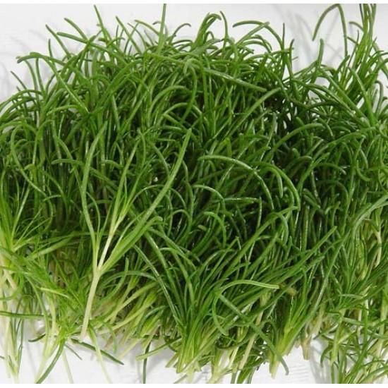 Okahijiki - Salsola Komarovii - 100 Seeds - Land Seaweed
