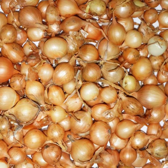 Onion Sets Stuttgarter - 100 Sets - Onions the easy way!