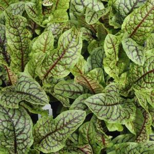 Sorrel Red Veined - 500 Seeds - Rumex Acetosa