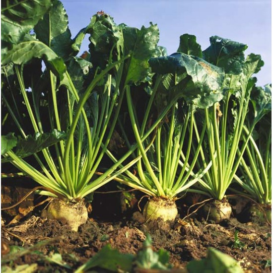 Sugar Beet - 250 Seeds - Beta vulgaris