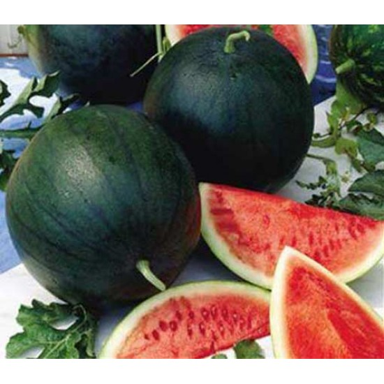 Watermelon - Sugar Baby - 50 Seeds - Heirloom Citrullus Lanatus