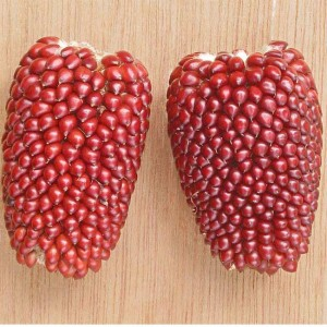 Zea Mays v Gracillima - Strawberry Popping Corn - 100 Seeds - Sweetcorn