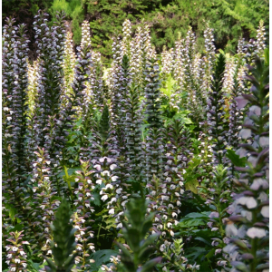 Acanthus Mollis - 10 Seeds - Bear's Breeches or Oyster Plant