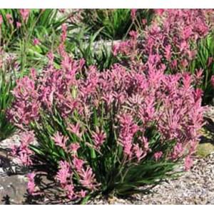 Anigozanthos Flavidus - 25 Seeds - 'Pink Form' Kangaroo Paw