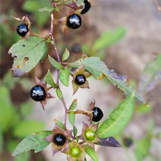 Atropa Belladonna - 50 Seeds - Deadly Nightshade