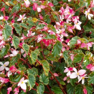 Begonia Coccinea - 50 Seeds - Scarlet Angel Wing Begonia