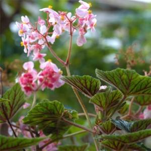 Begonia Incarnata - 25 Seeds - Metal Leaf Begonia