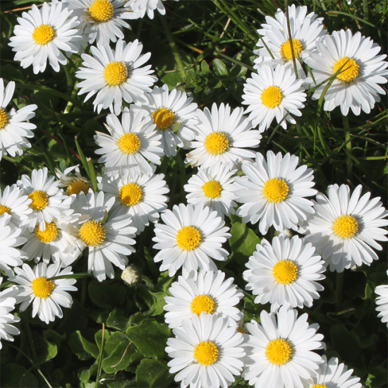 Bellis Perennis - 1000 Seeds - Common Lawn Daisy
