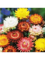 Strawflower King Size Mixed - 2500 Seeds - Xerochrysum / Helichrysum / Bracteantha Bracteata