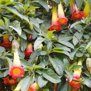 Brugmansia Sanguinea - 10 Seeds - Scarlet Angels Trumpet Datura