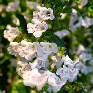 Calamintha Nepeta - 250 Seeds - Lesser Calamint (Clinopodium nepeta)