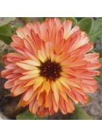 Calendula Officinalis - Double Pink Surprise - 50 Seeds - Pot Marigold Medicinal