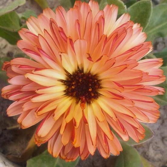 Calendula Officinalis - Double Pink Surprise - 50 Seeds - Pot Marigold Medicinal
