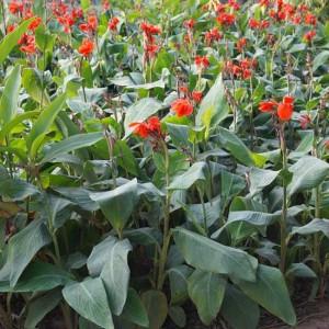 Canna Indica - 50 Seeds - 'Red' Flowered Banana Foliage