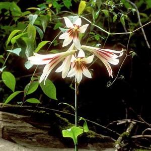 Cardiocrinum Giganteum - 25 Seeds - Giant Himalayan Lily