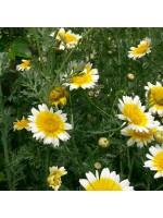 Chrysanthemum Coronarium - 500 Seeds - Chop Suey Greens - Garland Greens