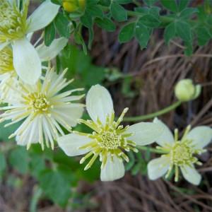 Clematis Lasiantha - Pipestem Clematis - 50 Seeds