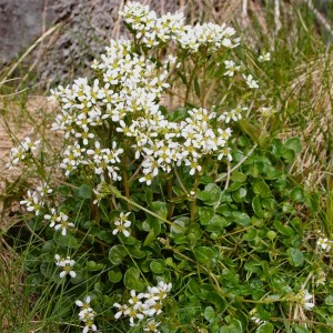 Cochlearia Officinalis - 100 Seeds - Scurvygrass / Spoonwort