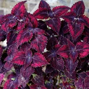 Solenostemon Scutellarioides - 50 Seeds - Wizard Velvet Red Coleus