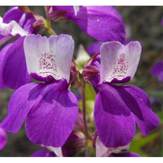 Collinsia Heterophylla - 200 Seeds - Purple Chinese Houses