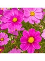 Cosmos Bipinnatus Sensation Radiance - 100 Seeds - Mexican Aster