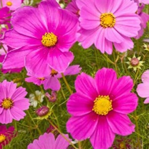 Cosmos Bipinnatus Sensation Radiance - 100 Seeds - Mexican Aster
