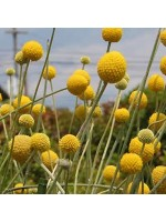 Craspedia Globosa - 100 Seeds - Billy Balls / Drumstick Flowers