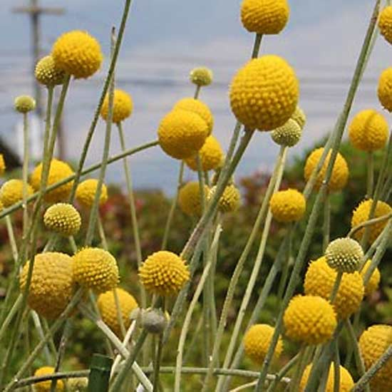 Craspedia Globosa - 100 Seeds - Billy Balls / Drumstick Flowers