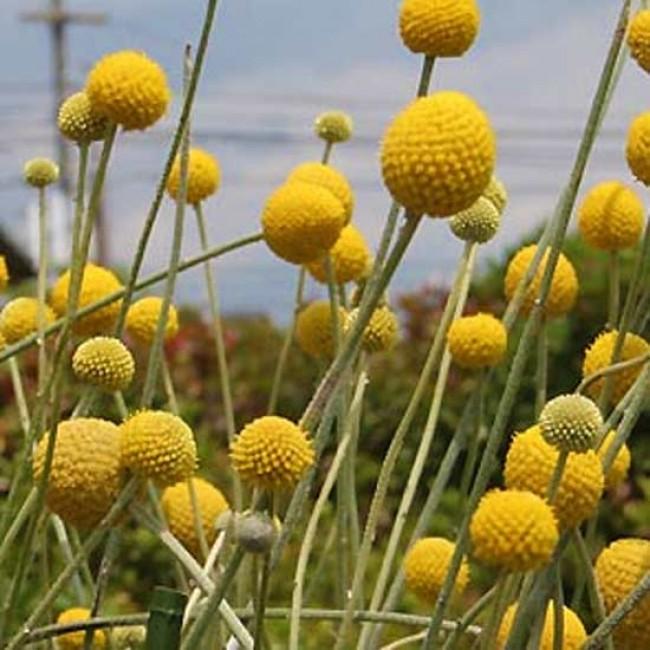Craspedia Globosa 100 Seeds Billy Balls Drumstick Flowers
