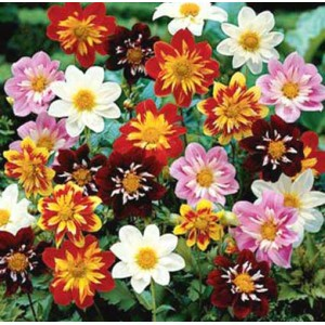 Dahlia Collarette Mixed - 100 Seeds