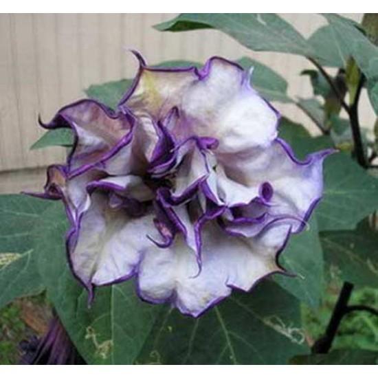 Datura Metel - 10 Seeds - Black Currant Swirl - Double Flowers