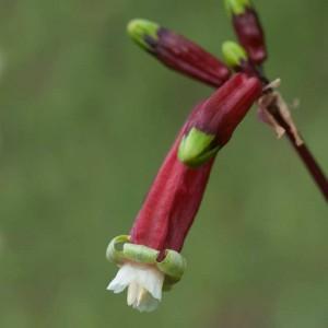 Dichelostemma Ida-Maia - 20 Seeds - Firecracker Flower