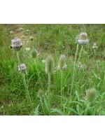 Dipsacus Fullonum Sylvestris - 500 Seeds - Teasel Flower
