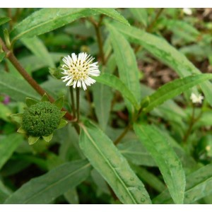 Eclipta Alba - 50 Seeds - False Daisy Bhringraj