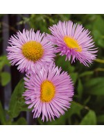 Erigeron Speciosus Seeds - Pink Jewel - Double Flowers