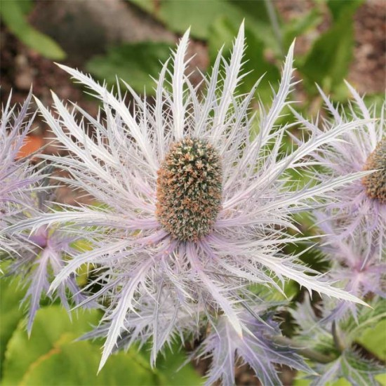Eryngium Alpinum Superbum - Alpine Sea Holly - 25 Seeds