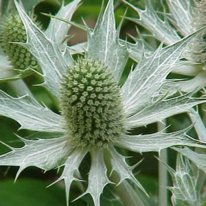 Eryngium Giganteum - 30 Seeds - Giant Sea Holly - Miss Willmott's Ghost
