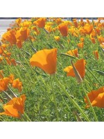 Eschscholzia Californica - 500 Seeds - Californian Golden Poppy