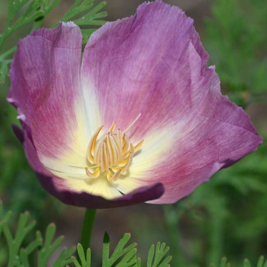 Eschscholzia Californica - Purple Gleam - 250 Seeds - Californian Poppy