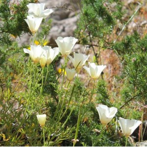 Eschscholzia Californica - 'White' - 500 Seeds - Californian Poppy