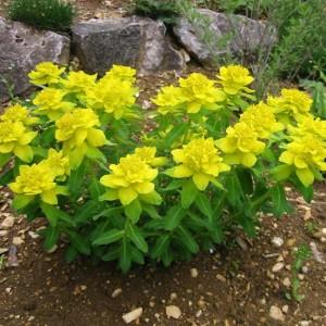 Euphorbia Polychroma - 30 Seeds - Cushion Spurge
