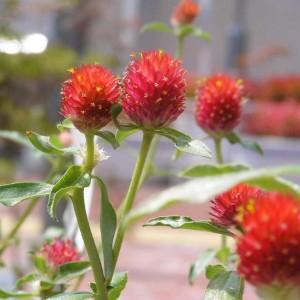Gomphrena Haageana - 50 seeds - Globe Amaranth Strawberry Fields
