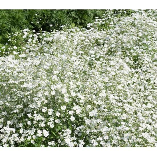 Gypsophila Elegens Covent Garden - 1000 Seeds - Annual Babys Breath