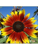 Sunflower 'Floristan' - Helianthus Annuus - 10 Seeds - Bicolour Sunflower