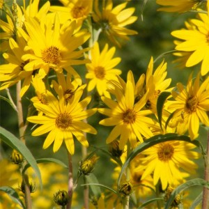 Helianthus Maximiliani - 100 Seeds - Maximilian Sunflower