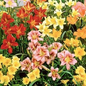 Hemerocallis 'Fine Mixed' - 10 Seeds - Mixed Varieties