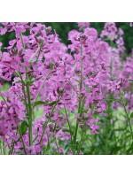 Hesperis Matronalis Purple - 800 Seeds - Sweet Rocket